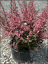 Rose Glow Red Barberry